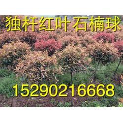 7公分红叶石楠,6公分独杆红叶石楠图片