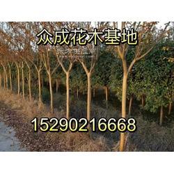 6公分紫薇潢川6公分百日红3米竹子图片