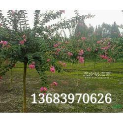 潢川8公分栾树,9公分桂花图片