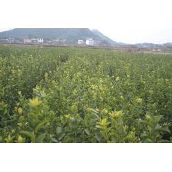 江西油茶树苗品种、油茶树苗、江西油茶树苗的图片