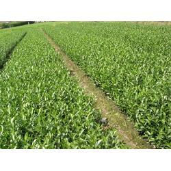 小周油茶树苗,福州油茶树苗,汕头油茶树苗图片