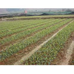 江西高产油茶苗、高产油茶苗、哪里有油茶树苗图片