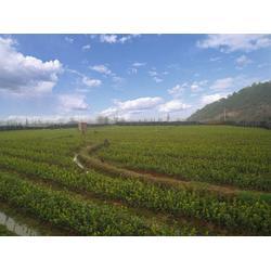 优质树苗种植技术,树苗种植培育哪家好,树苗种植图片