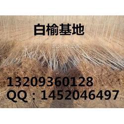 白榆-白榆起苗机图片