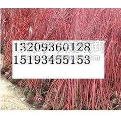 红柳苗-临泽红柳苗-起苗机图片