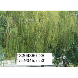 垂柳苗-起苗机图片