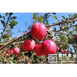 矮化苹果苗木,大樱桃苗,苹果苗图片