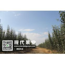脱毒苹果苗 鉴别脱毒苹果苗-苹果苗图片