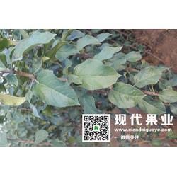 苹果苗 苹果新品种 陕西苹果苗图片