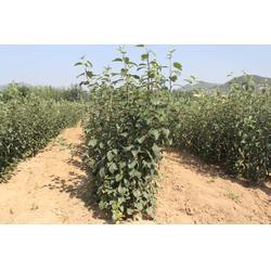 烟富0脱毒苹果苗|现代果业|脱毒苹果苗图片