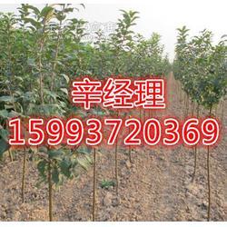 艺林苗木出售龙爪槐/刺槐树/报价图片