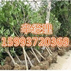 艺林苗木销售银杏/洒金柏/报价图片
