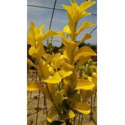 信诚绿化 金冠黄杨基地-金冠黄杨图片
