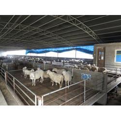 大型湖羊养殖厂、金戊牧业(在线咨询)、河北湖羊图片