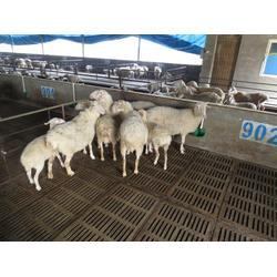 金戊牧业(图),杜泊羊养殖技术,杜泊羊图片