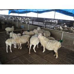 肉羊种羊价钱_金戊牧业(在线咨询)_河南肉羊种羊图片