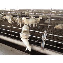 金戊牧业(图),湖羊养殖利润,湖羊养殖图片