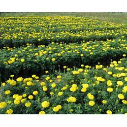 草花-合胜花卉苗木-草花供应图片