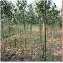 绿景苗木(图)、7公分大叶女贞、菏泽大叶女贞图片