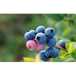 浩铭农业生态蓝莓园、宜阳蓝莓庄园、蓝莓图片