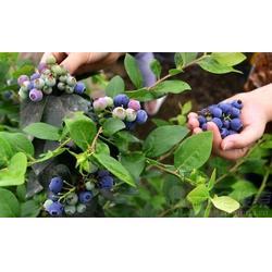 宜阳蓝莓采摘_浩铭农业寻找淡淡果香_蓝莓采摘图片