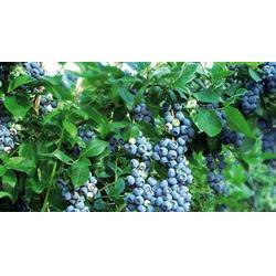 浩铭农业六月开园|洛宁蓝莓大棚|蓝莓图片