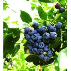 浩铭农业生态采摘园,吉利蓝莓销售,蓝莓图片