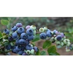 浩铭农业六月开园,洛宁蓝莓大棚种植基地,蓝莓图片