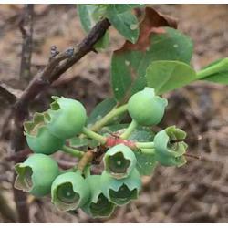 浩铭农业寻找淡淡果香、宜阳小蓝莓、蓝莓图片