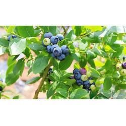 浩铭农业寻找淡淡果香,宜阳果园蓝莓采摘,蓝莓图片