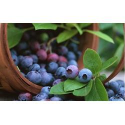 浩铭农业蓝莓采摘节开幕 |嵩县周末郊游|周末郊游图片