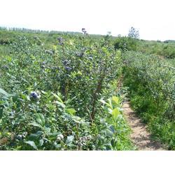 蓝莓采摘好去处_浩铭农业欢迎您_栾川蓝莓采摘图片