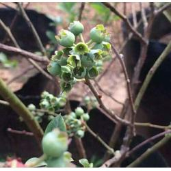 浩铭农业蓝莓采摘欢迎您|宜阳优质蓝莓采摘|蓝莓图片