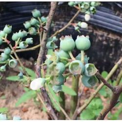 浩铭农业|蓝莓的功效与作用、比樱桃更好吃的鲜果采摘、采摘图片