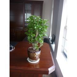 植物租摆、华盛园林绿化(已认证)、龙岗植物租摆图片