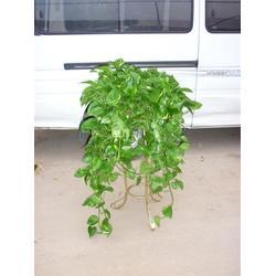 罗湖盆栽植物、屋顶盆栽植物、华盛园林绿化(优质商家)图片