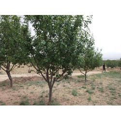 垂丝海棠树_绿源金果(在线咨询)_海棠树图片