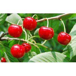 綠源金果 櫻桃-櫻桃預售圖片