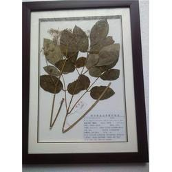 中药植物学标本供应商|中药植物学标本|求精教学图片