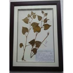 南阳中药植物学标本|中药植物学标本供应商|求精教学图片