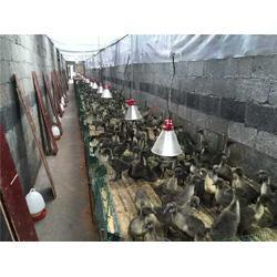 养殖场保温灯采购,三渡照明(在线咨询),鸡用取暖灯采购图片