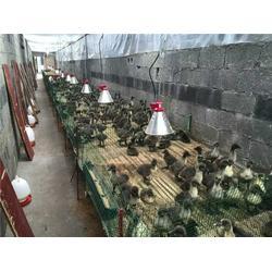猪用养殖灯-大功率养殖灯罩-三渡照明(查看)图片