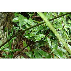 杜梨苗种子-天园苗木基地-枣庄杜梨苗图片