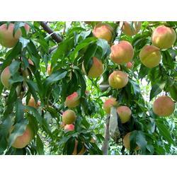 天园苗木基地 哪买桃树苗-新疆桃树苗图片