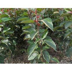 苹果苗-天园苗木基地(在线咨询)沂水苹果苗图片