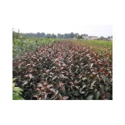 竹节海棠苗-天园苗木基地-泰安海棠苗图片