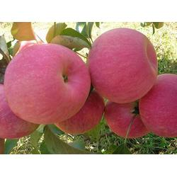 天园苗木基地,苹果苗产地,莱芜苹果苗图片