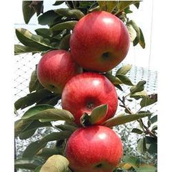 天园苗木基地 苹果苗供应-苍山苹果苗图片