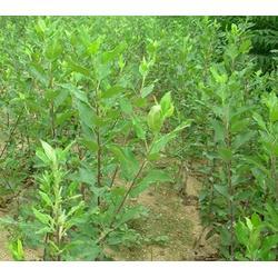 苹果苗产地、天园苗木基地(在线咨询)、江西苹果苗图片