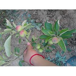 天园苗木基地 苹果苗种子-河东苹果苗图片